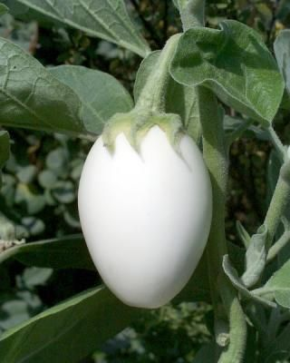 White Eggplant On The Plant In Garden Growing Eggplant White Eggplant Eggplant