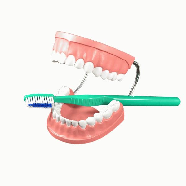 Dentadura y cepillo en 2020 Modelos, Biblioteca, Dentadura