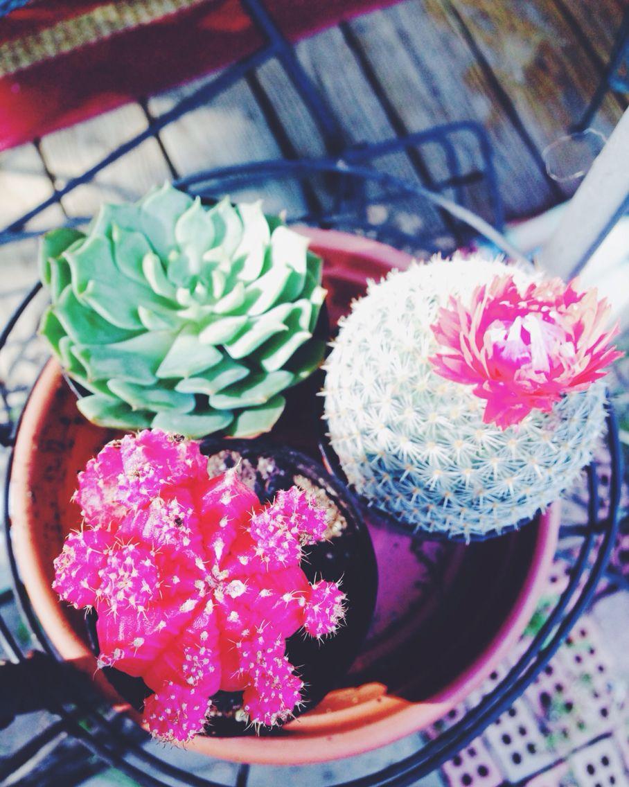 #succulents #home&garden #cactus #garden #summer #prettyinpink #trio #vsco #vscocam #instagram #instagood