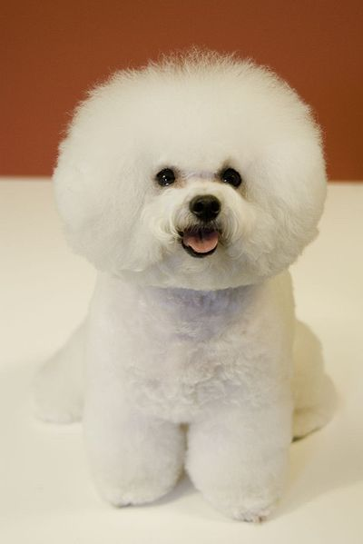Look at the big head! Ultra cute! Im attempting to brush my Nana's head to look like his. LOL. Damn, I think Bichon is so cute. You know why? Coz they're from e same family as poodles. lol. Yeah, Jolin Tsai's dog is a Bichon too I think. Damn cute!
