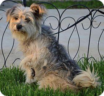 Yorkie Yorkshire Terrier Skye
