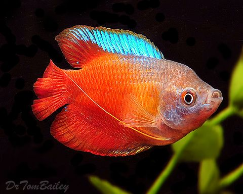 A Young Male Fire Red Dwarf Gourami To See More Click On Www Aquariumfish Net Catalog Pages Gouramis G Aquarium Fish Tropical Fish Fresh Water Fish Tank