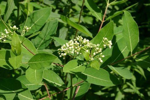 20 DOGBANE Apocynum Cannabinum INDIAN HEMP Seeds Rheumatism Weed ...