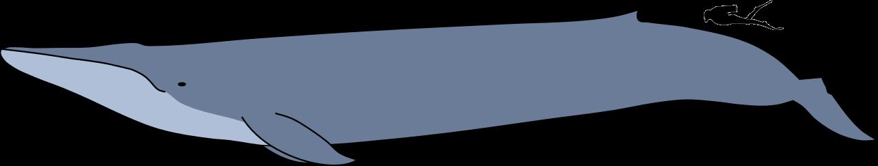 Blue whale size.svg