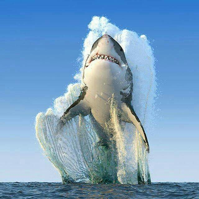 "Great white shark jumping attack. Cape Town, South Africa. Funny thing, I Just made some crab cakes while watching the movie ""Jaws"". I sit myself down to enjoy the dish, login to Pinterest off to the side, and the first post I see is this. HA!"