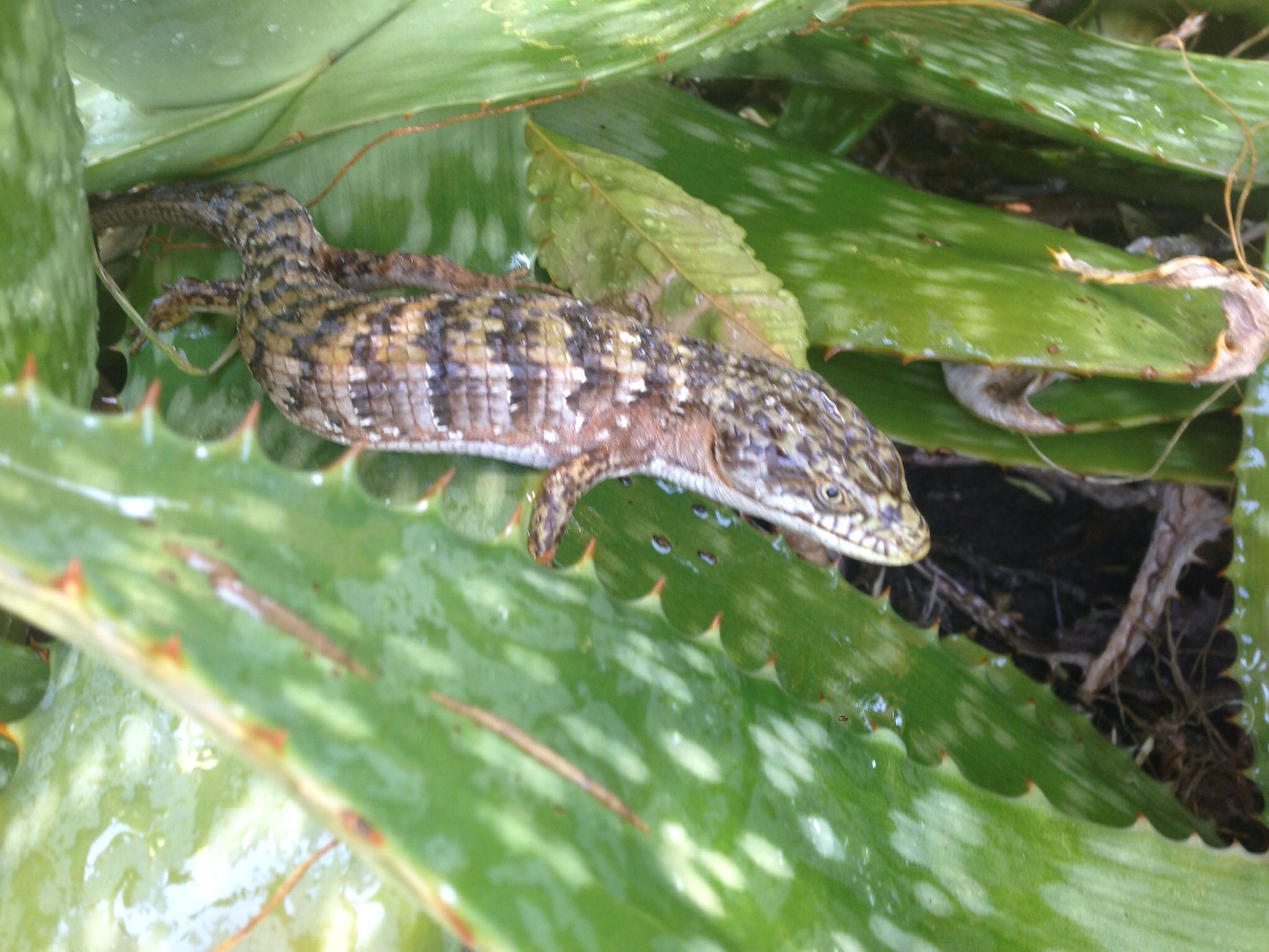 Alligator lizard | Lizard, Backyard, Animals