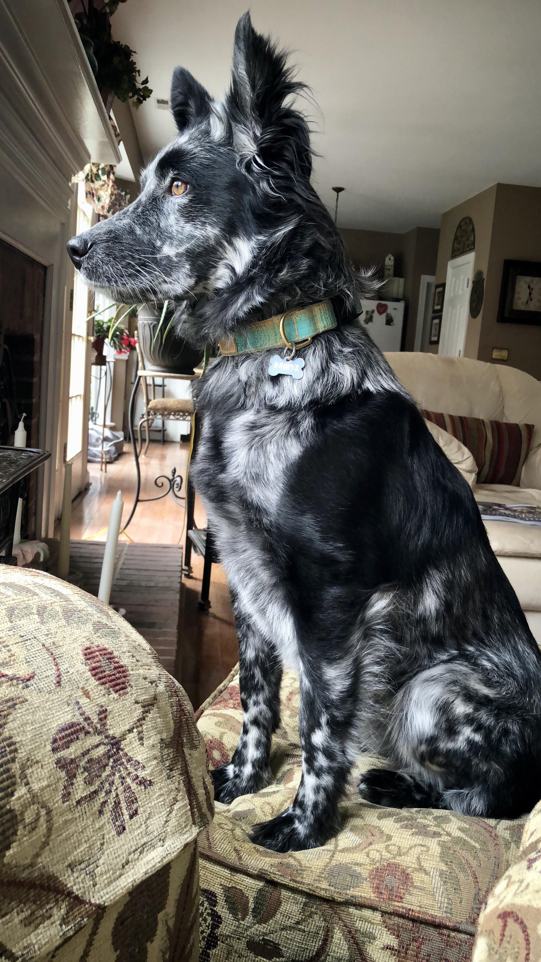 41+ Australian Shepherd Mix Breed Reviews Cute dogs and