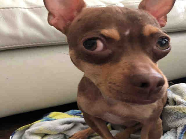 Chihuahua dog for Adoption in San Antonio, TX. ADN824301