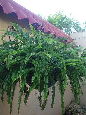 Cuidados de los helechos los helechos son esas hermosas for Importancia de las plantas ornamentales