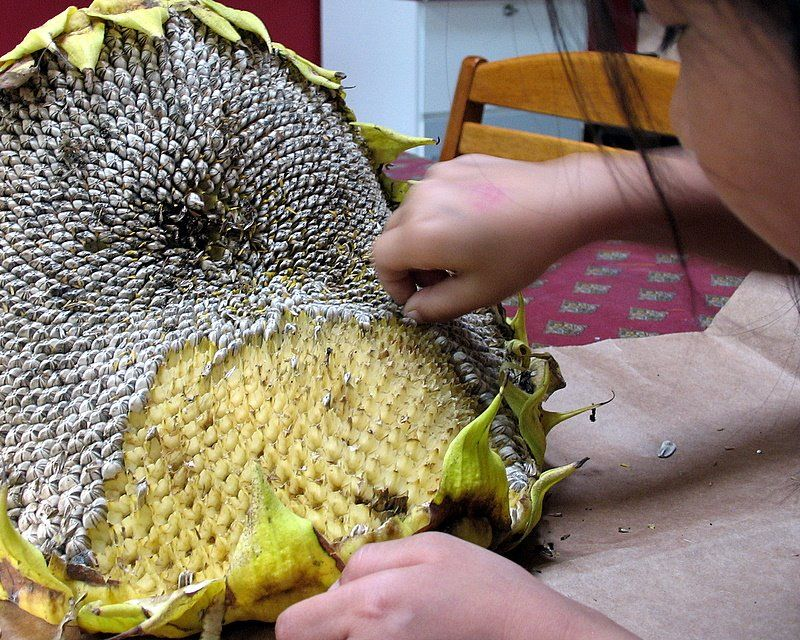 How to Harvest and Process Sunflower Seeds #sunflowerbedroomideas