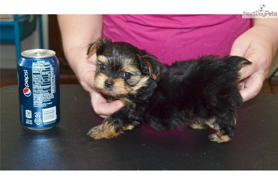 I Am A Cute Yorkshire Terrier Yorkie Puppy Looking For A Home