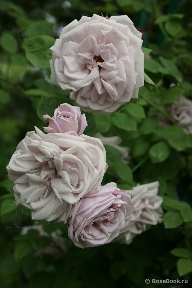 выдачи роза консул фото розебук сочная