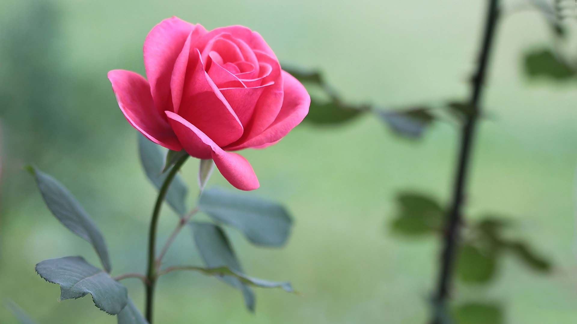 Desktop Wallpapers Flowers Backgrounds Pink Rose Www Papere