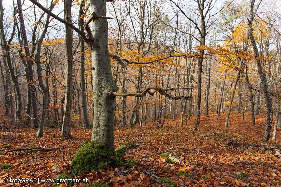 """Der Weg der """"gefallenen Blätter""""... ist kein leichter, denn einmal am Waldboden gelandet, geht es jedem Blatt an den Kragen! Wie es möglich ist, dass Laubwälder wie jene im Nationalpark Thayatal nicht in den Blattmassen, die alljährlich fallen, untergehen, wer dafür verantwortlich ist und welche Blätter es besonders schnell """"dahinrafft"""", das verrät euch der aktuelle NP Thayatal Blogbeitrag: http://blog.np-thayatal.at/der-weg-der-gefallenen-blaetter/ Klickt euch rein!"""