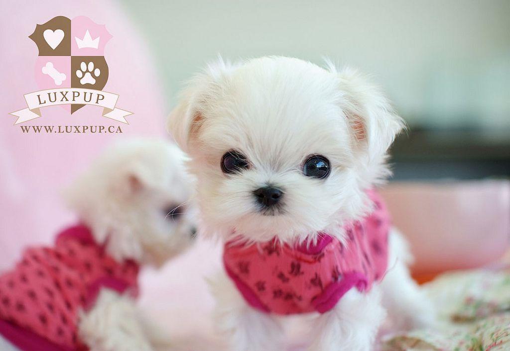 Teacup Maltese Puppy Really Cute Puppies Cute Teacup