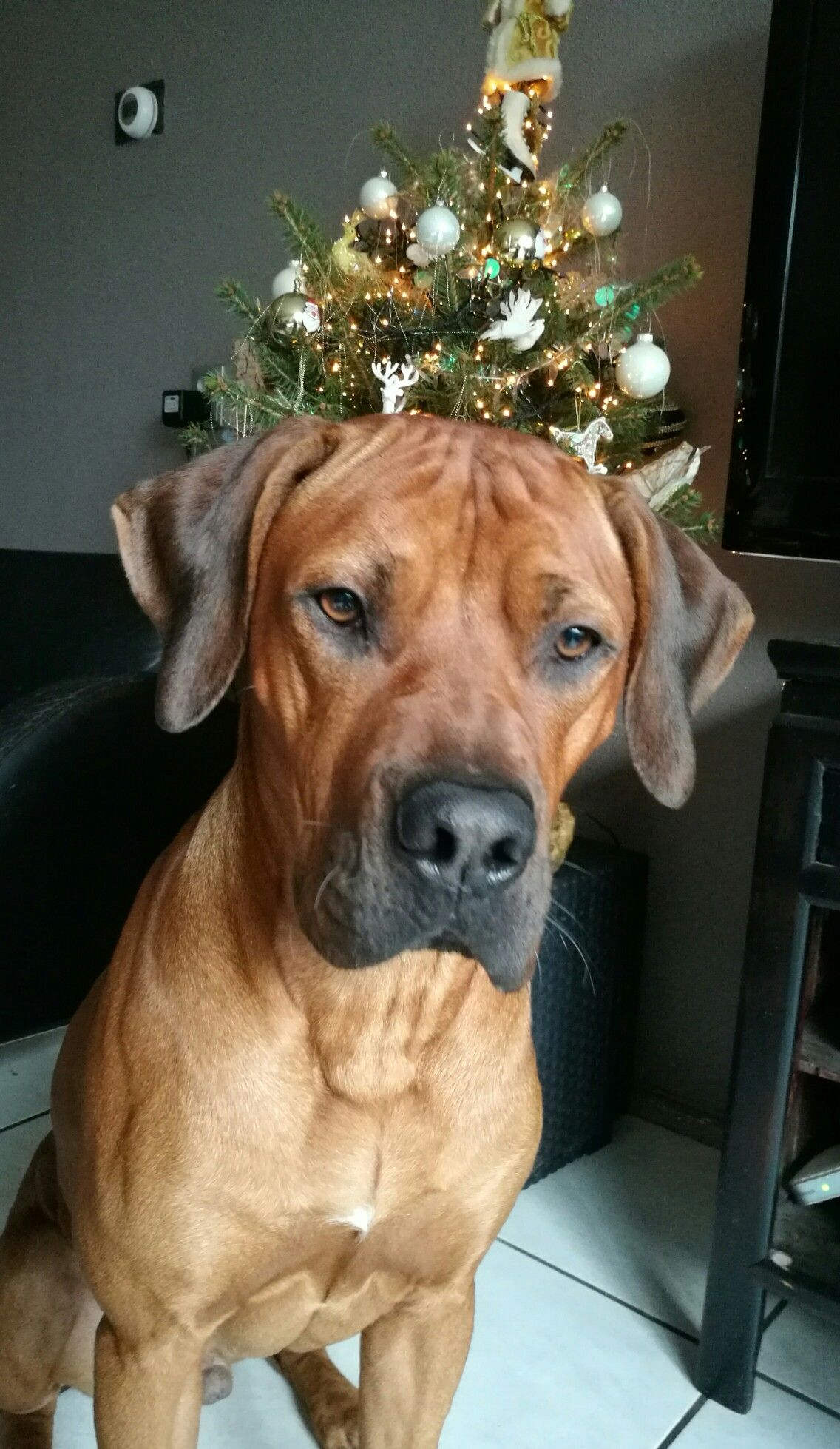 Jengo 1 jaar Rhodesian Ridgeback Beautiful dogs