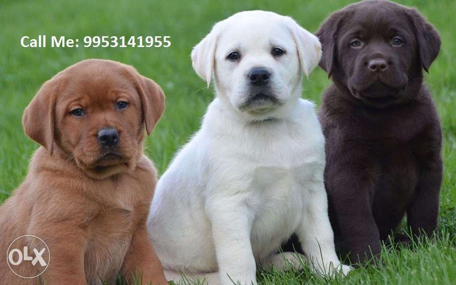Golden Labrador Pure Breed Heavy Bone Available For Sell Delhi Pets Dwarka Labrador Retriever Labrador Puppy Labrador