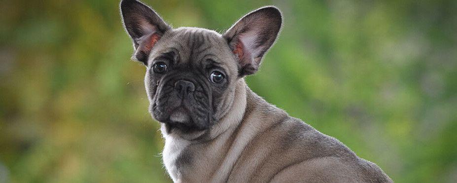 French Bulldog Breeders World Of Frenchies French Bulldog
