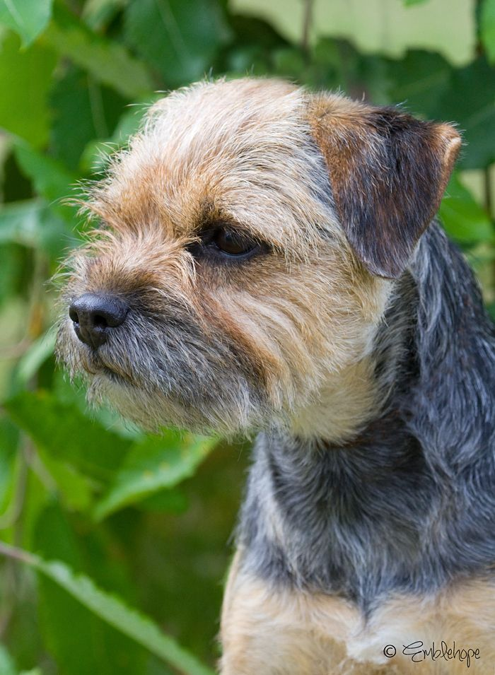 403 Forbidden Border Terrier Best Dog Breeds Terrier