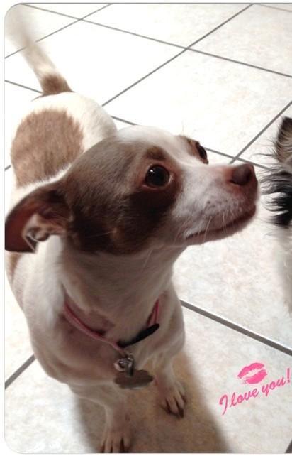 Adopt Patsy On Chihuahua Puppies Chihuahua Dogs Chihuahua