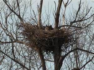 owl nesting behavior - Bing images