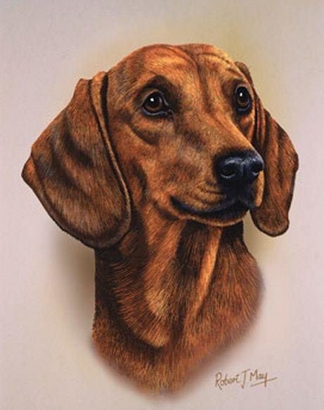 Dachshund Clube Robert J May Dog Drawing Dog Art