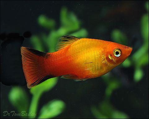 Variatus Platy Fish For Sale At Aquarium Fish Net Aquarium Fish