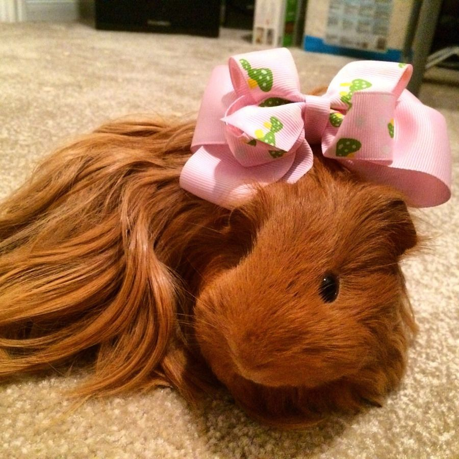 Pin on Guinea Pigs Are So Cool