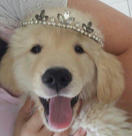 Thais Hermosa Dog Person Golden Retriever Dogs