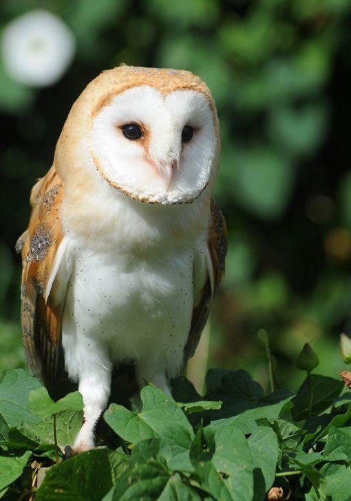 Barn owls vanishing...