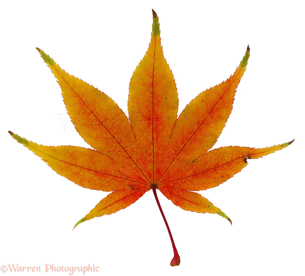 Japan Maple Leaves Google Search Japanese Maple Maple Leaf Pictures Maple Leaf Drawing