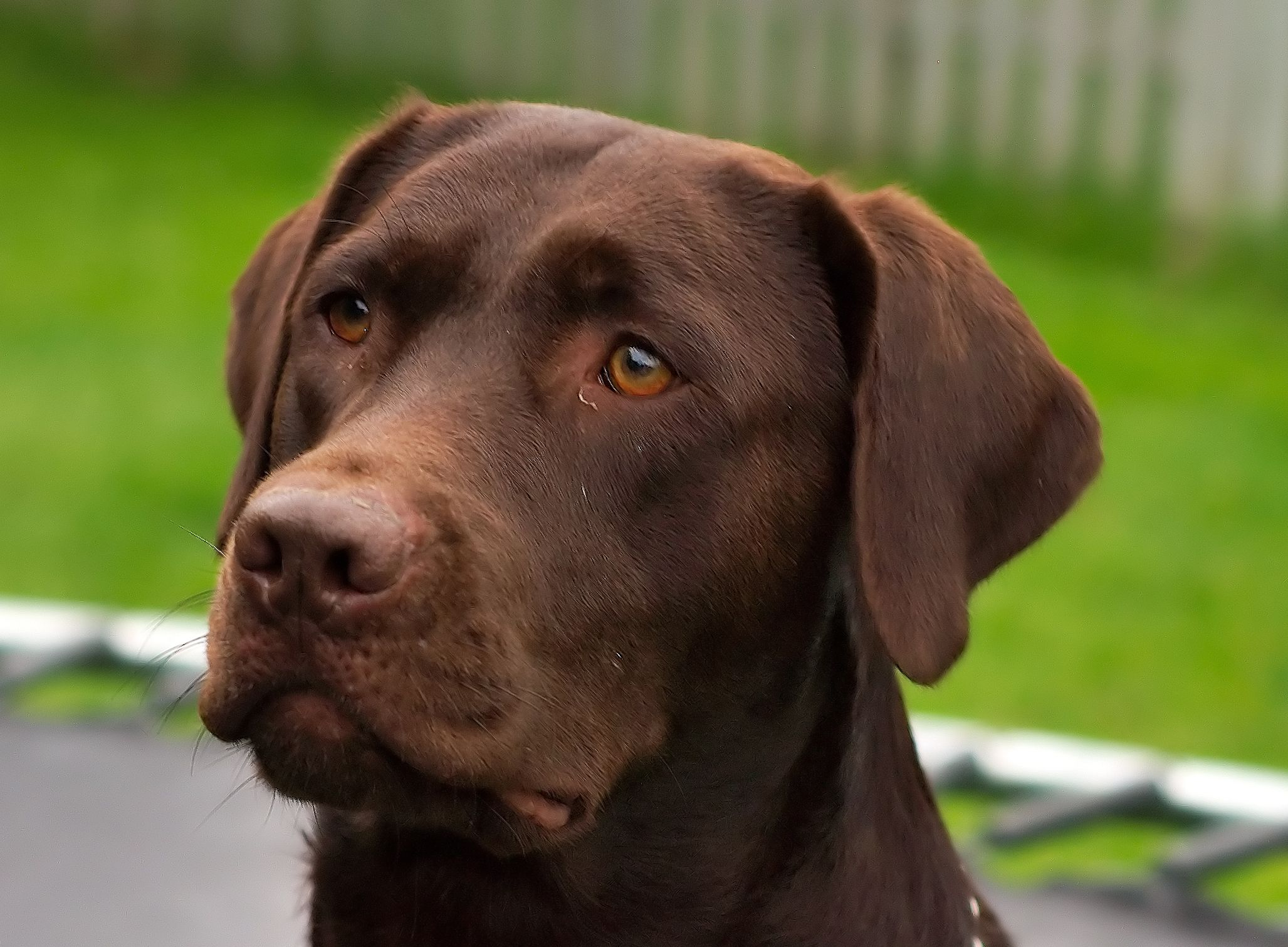 In Labradors this color is called Chocolate but it is the same