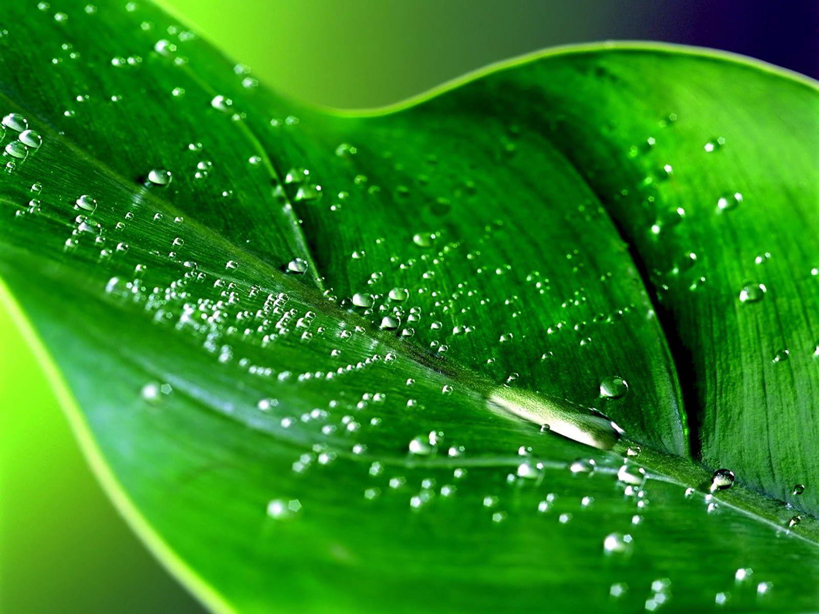 Summer Rain Fresh Green Leaf Water Drops Desktop Wallpaper