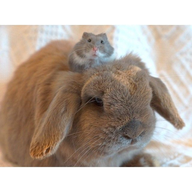 A Hamster Rode An Extremely Soft Bunny Cute Hamsters Cute
