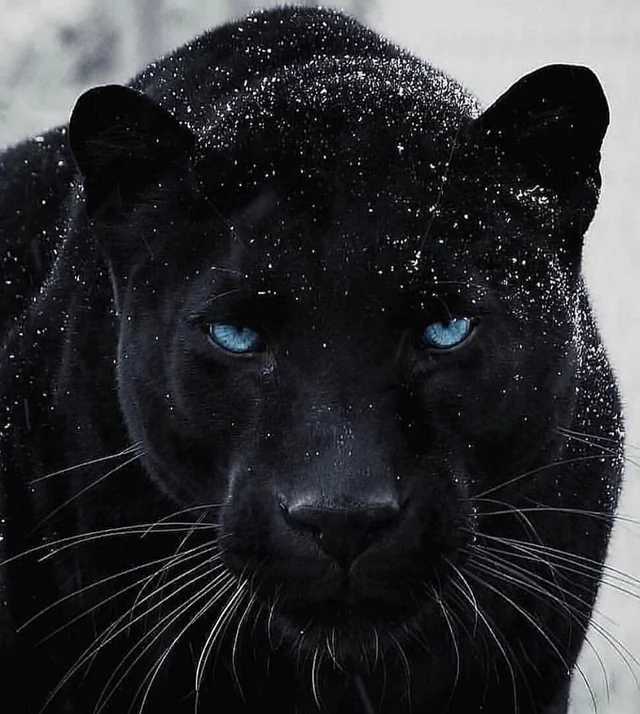 Reddit The Front Page Of The Internet In 2020 Tiger Pictures Animals Beautiful Black Panther Cat
