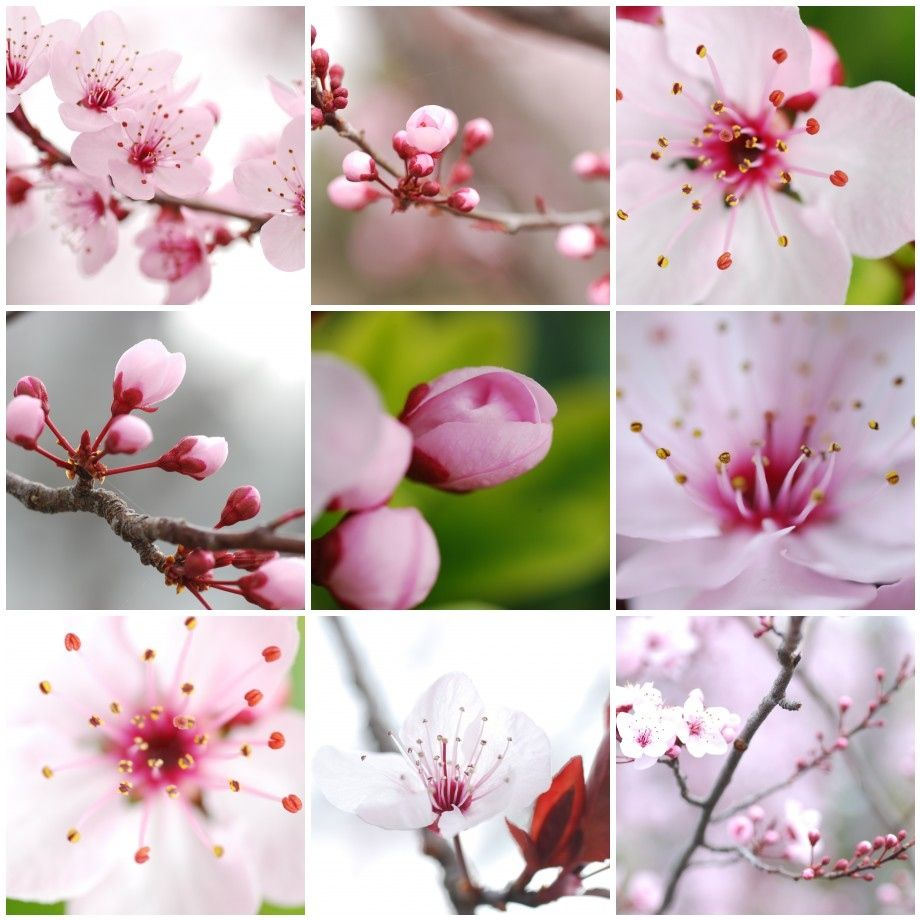 A Fanciful Life It S Cherry Blossom Time Cherry Blossom Flowers Blossom Beautiful Flowers Photos
