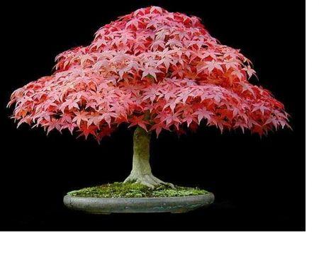 Bonsai Japanese Elm Desktop Nexus Wallpapers Bonsai Tree Wisteria Bonsai Bonsai