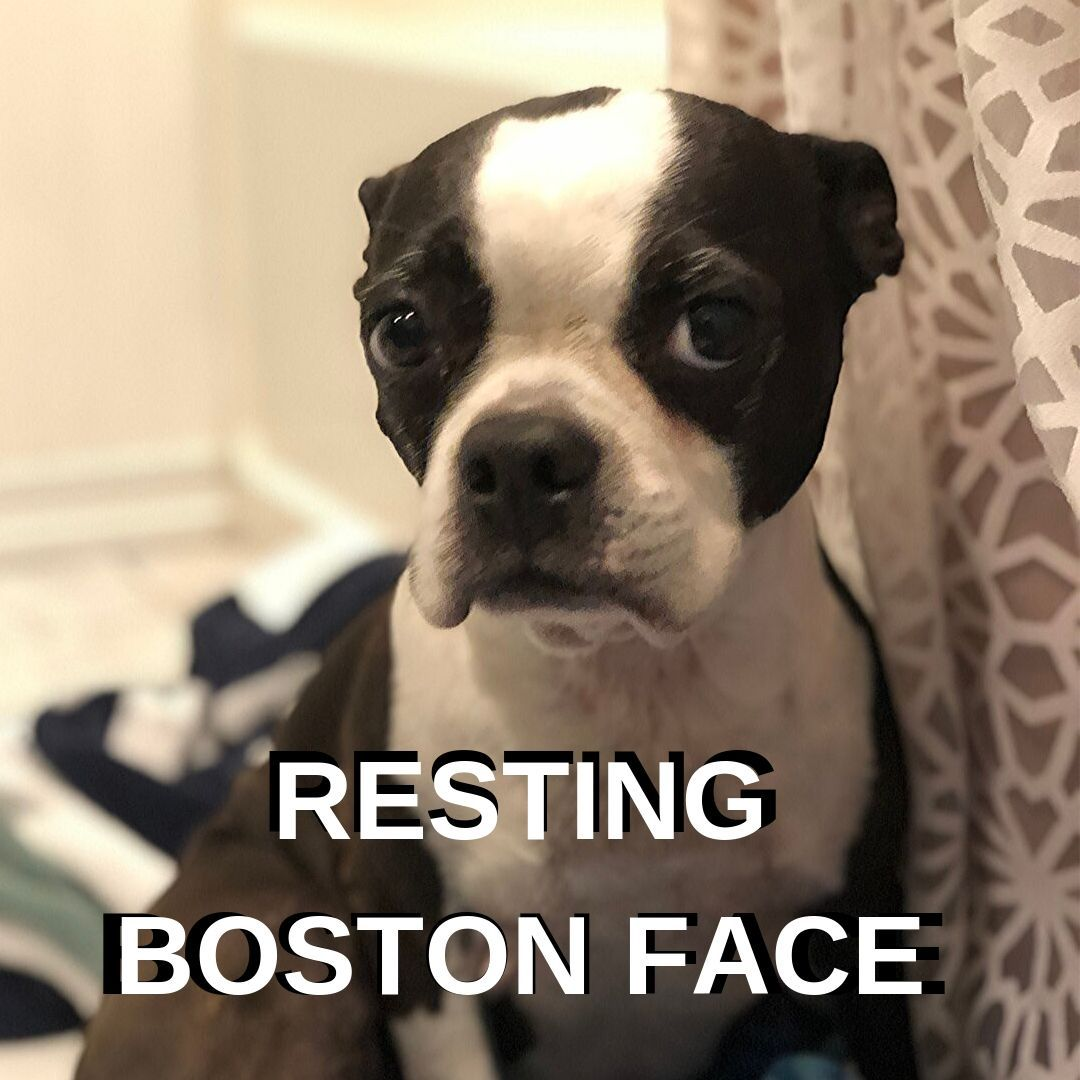 10 Awesome Boston Terrier Memes From Boston Terrier Society Boston Terrier Society Boston Terrier Funny Boston Terrier Dog Boston Terrier Meme