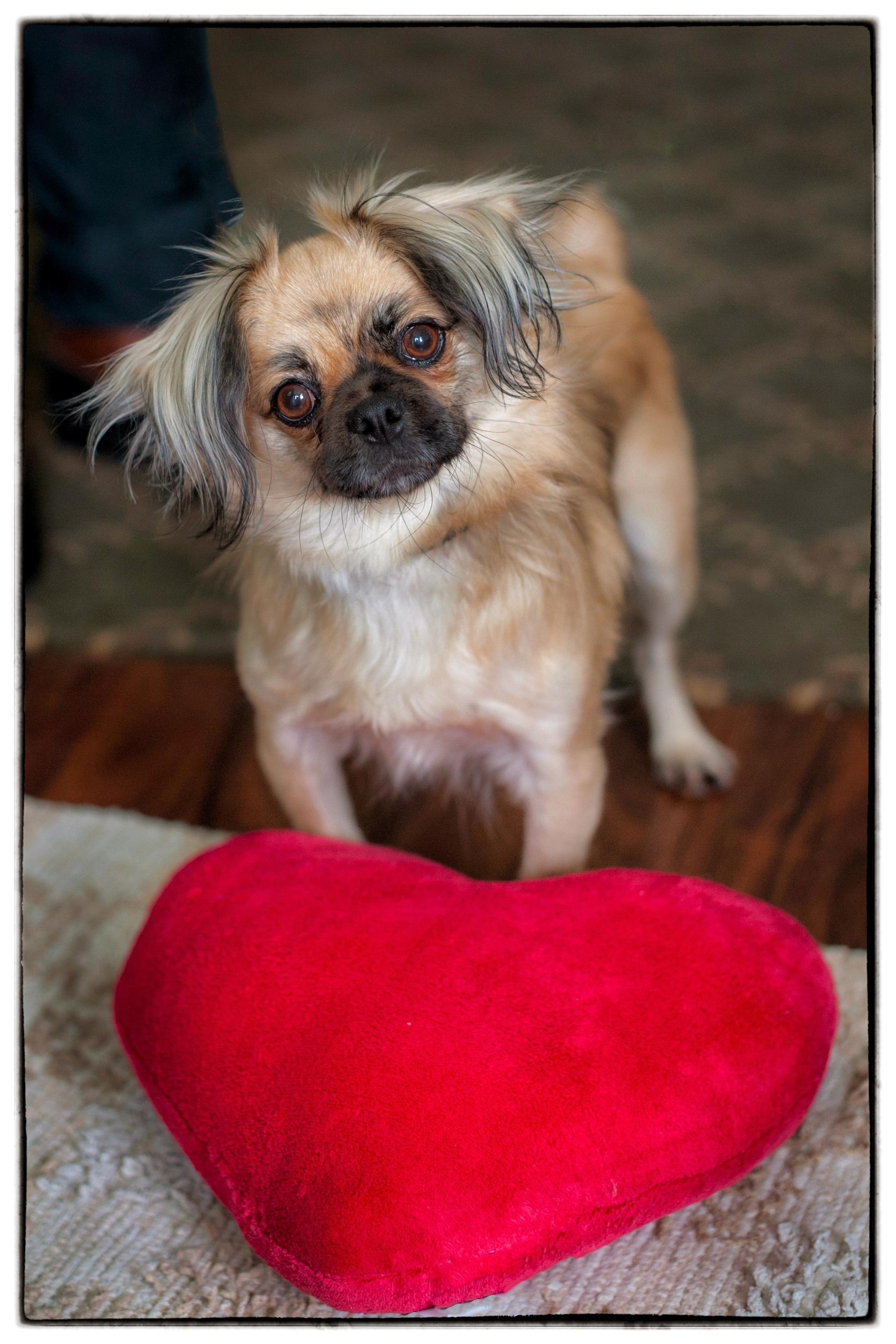 Adopt Timmy on Tibetan spaniel, Dog adoption, Pekingese mix