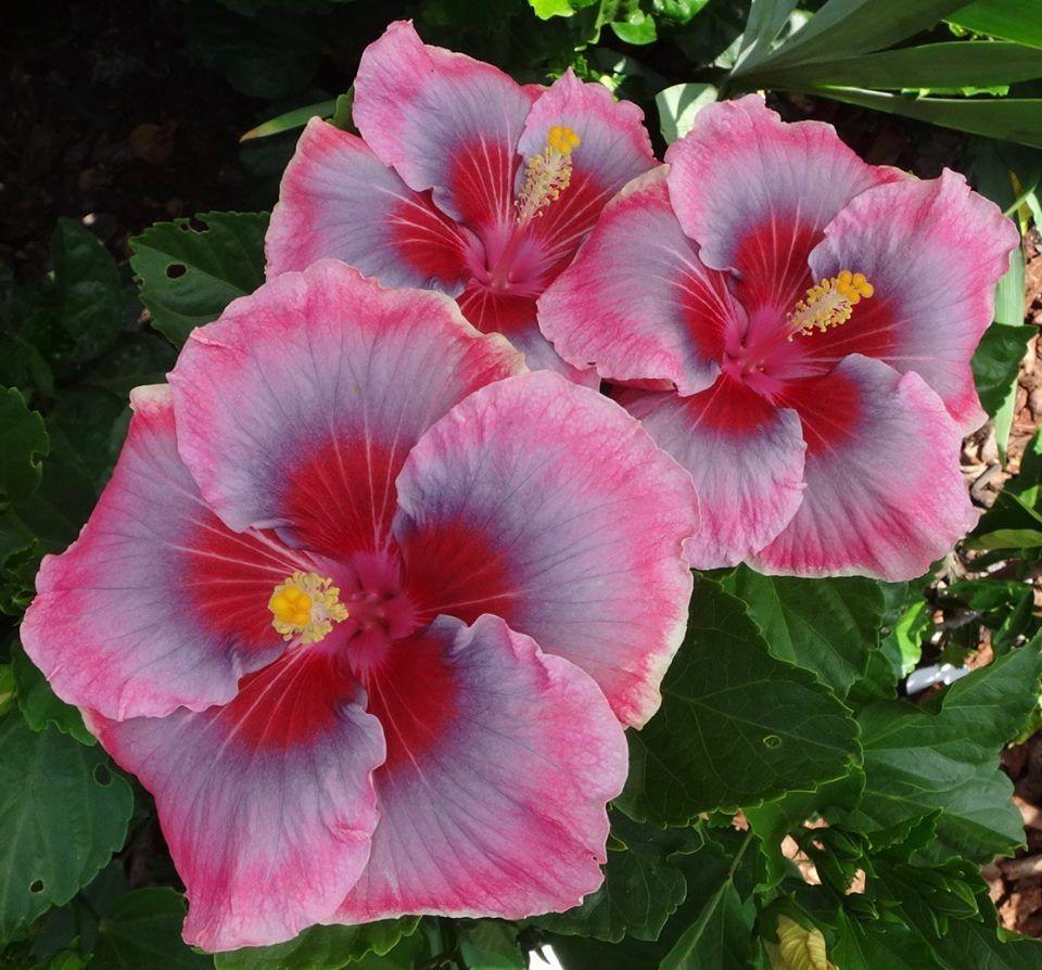 Floral Bliss Hibiscus Hibiscus Garden Hibiscus Hibiscus Flowers