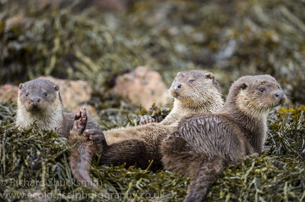 Shetland otters along the Shetland coast Cute animals