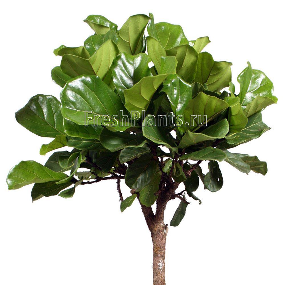 Фикус лировидный штамб детали Растения pinterest ficus