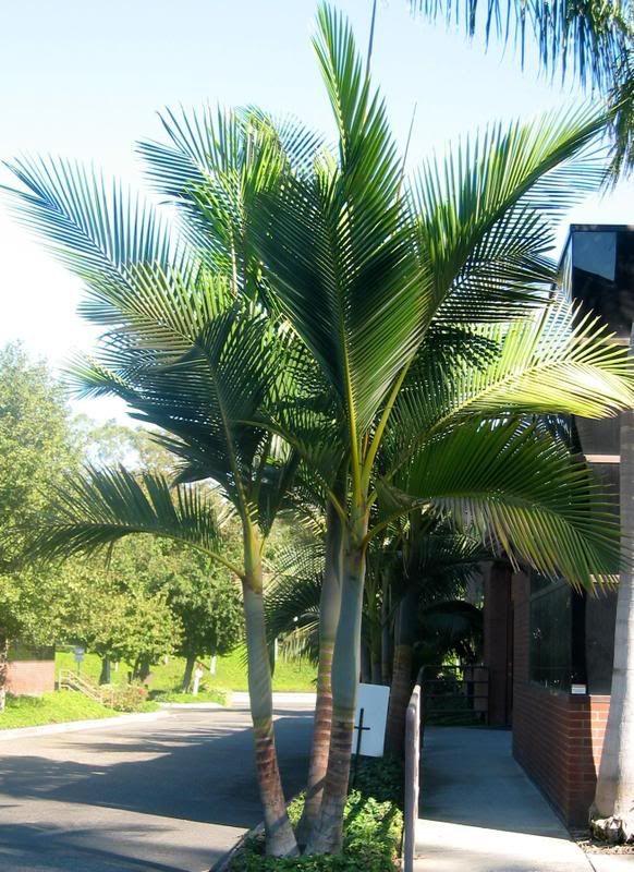 California Palm Trees California Southern California Palm Trees Drought Tolerant Cali Palms R California Palm Trees Palm Trees Landscaping Florida Palm Trees