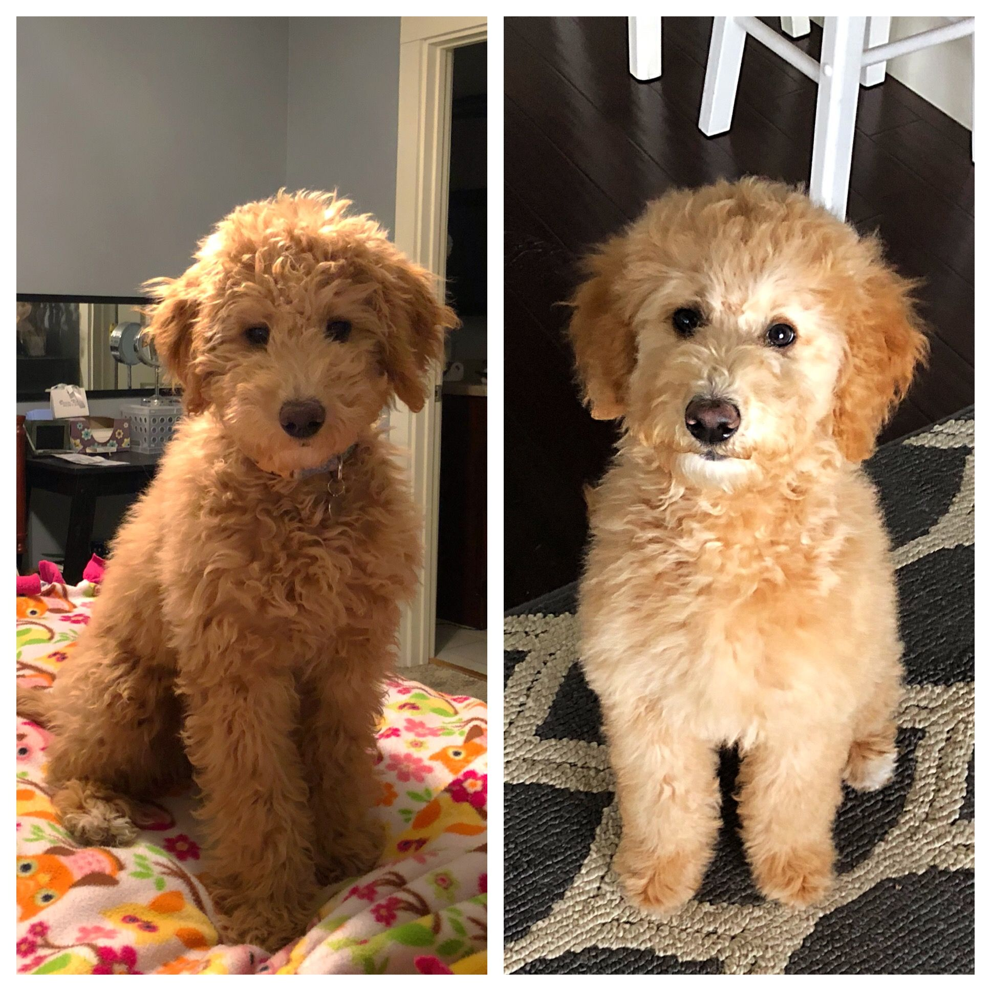 15 Week Old Goldendoodle Puppy First Time Getting Groomed With