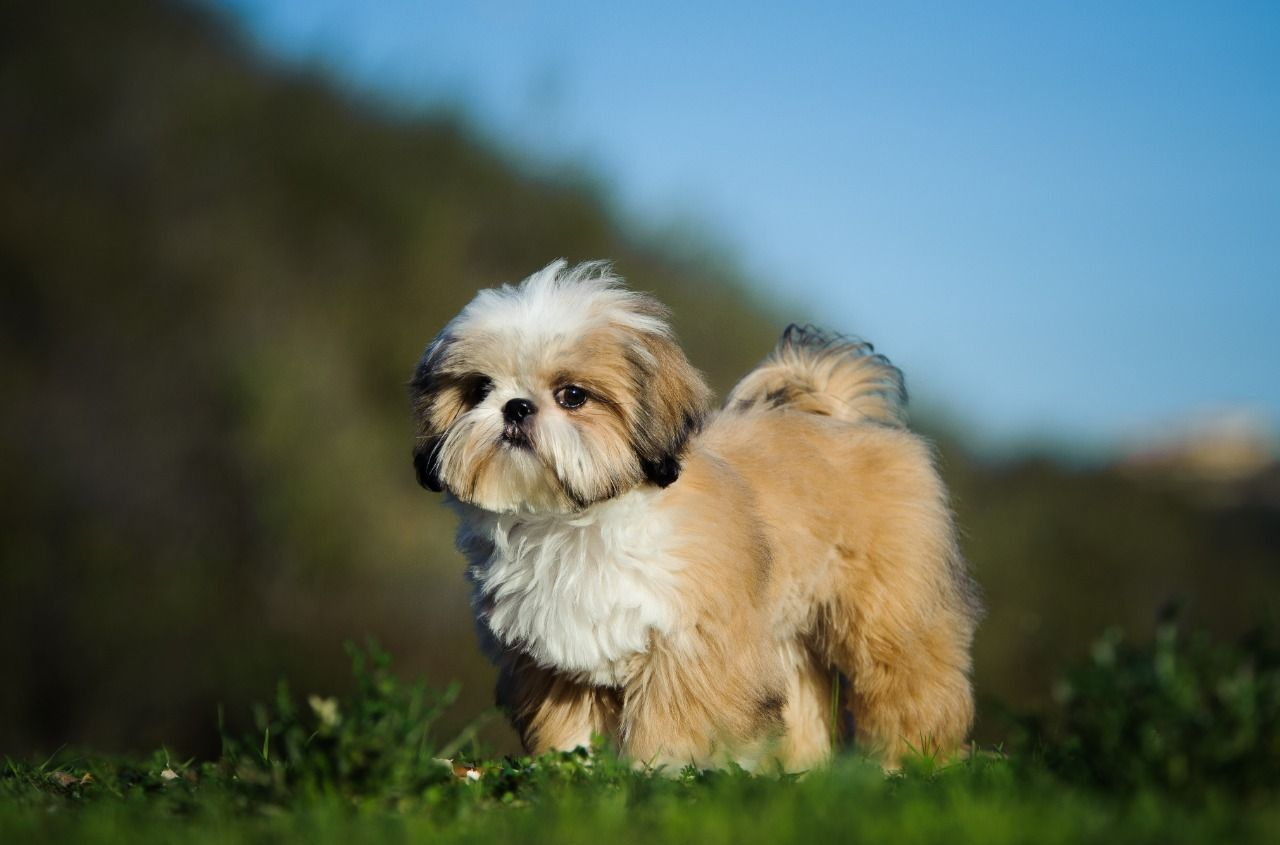 Google Image Result For Https Www Pets4homes Co Uk Images Articles 1532 Large Five Useful Things To Know About The S Dog Breeds Toy Dog Breeds Shitzu Puppies