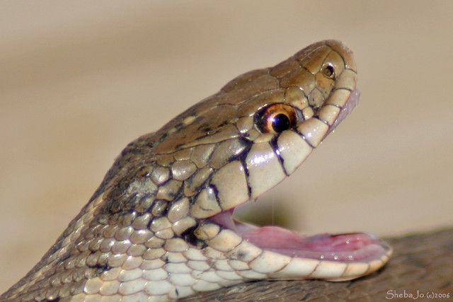 Open Mouth Reference Rainforest Food Chain Mouth Open Snake