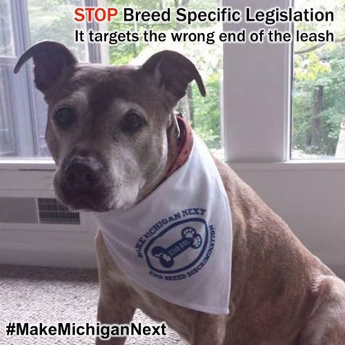 Ittybittythepitty Via Detroit Bully Corpsattention Michigan