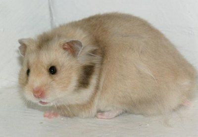 Brown Eared Silver Grey Lh Hamster Bbsgsg Ll Cute Hamsters