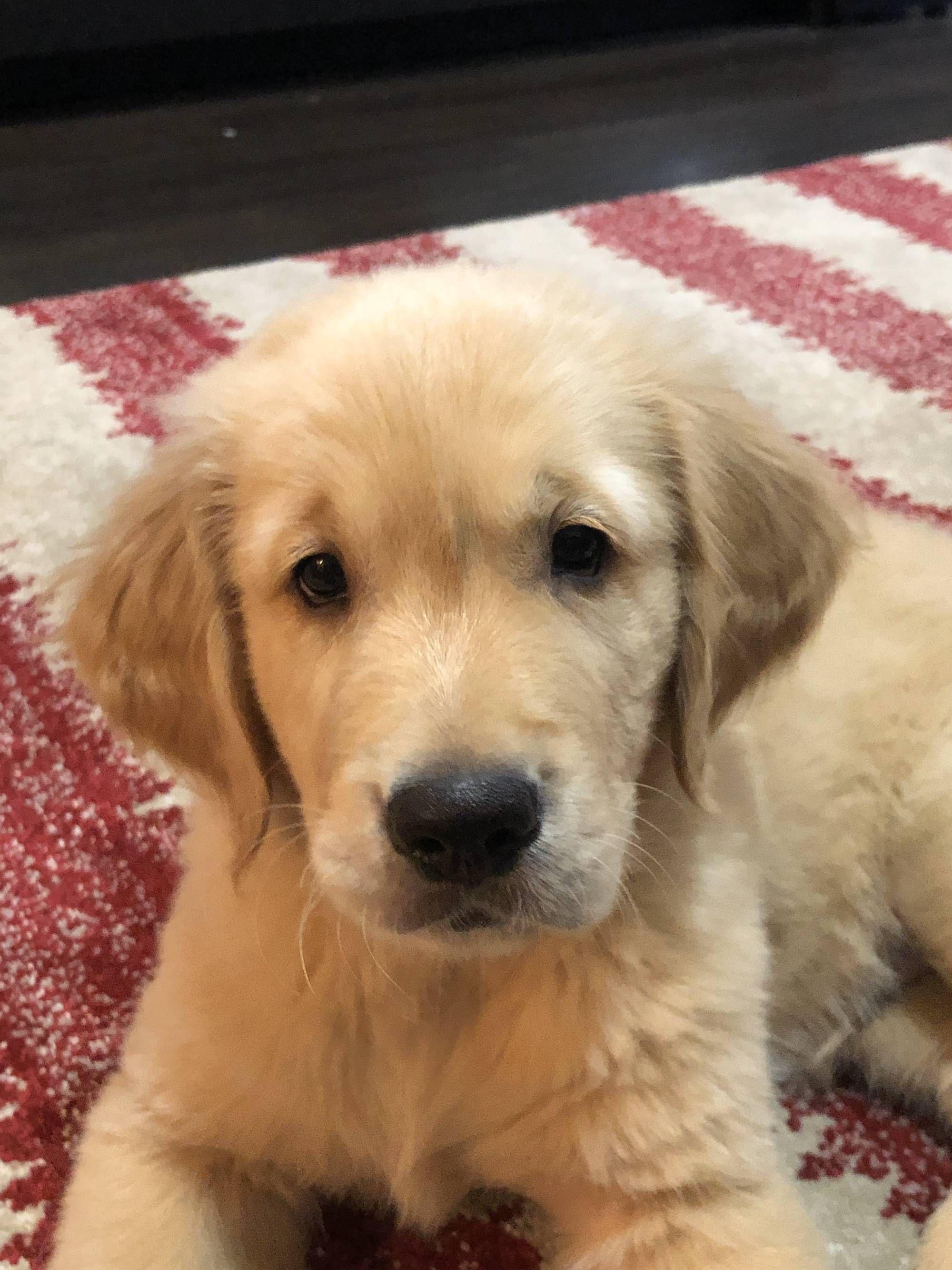 Meet ranger our spunky 9 week old golden hes the bestest