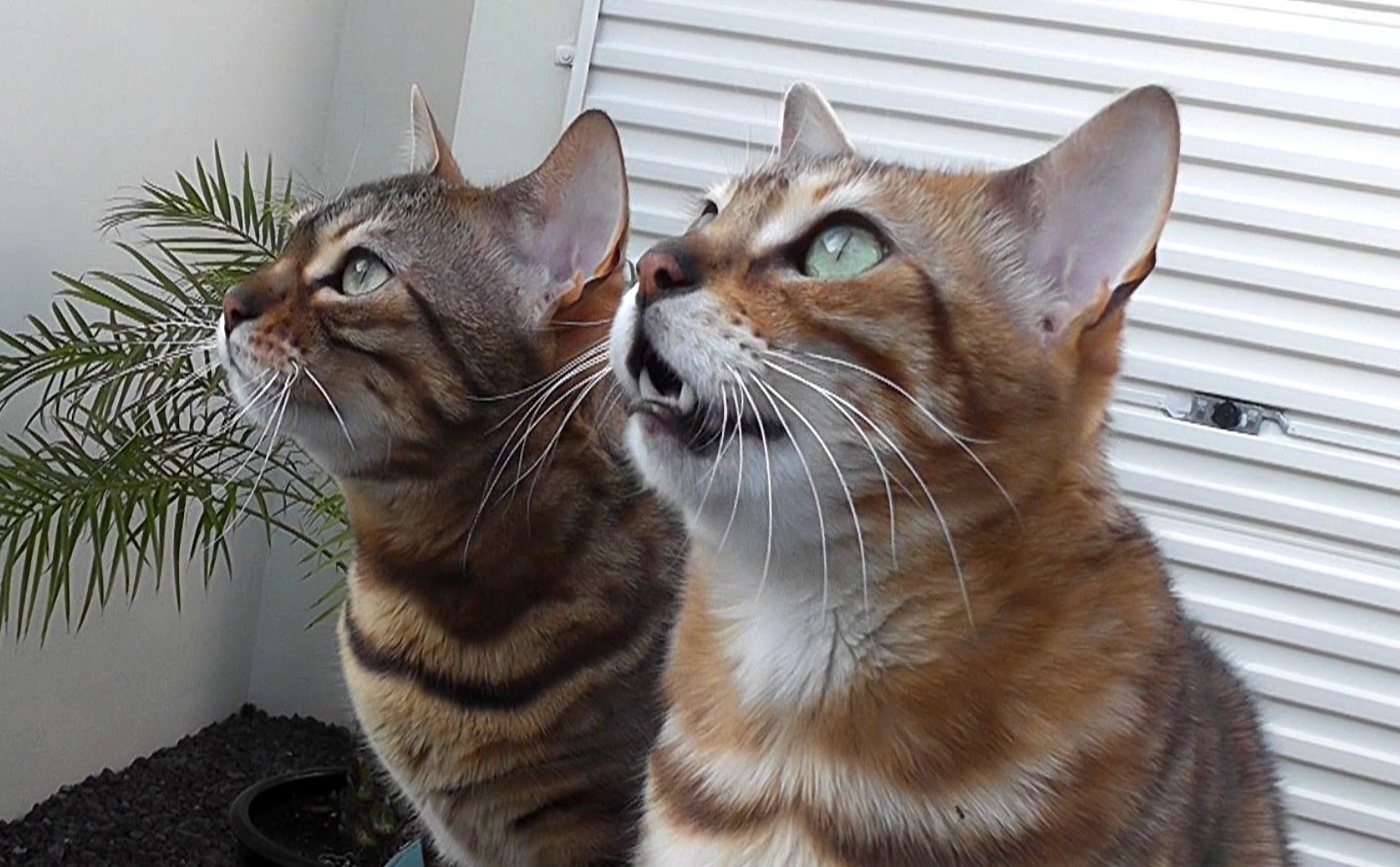 Great Video! Bengal Life Meowing, chirping, yowls! Noisy